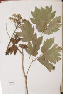 2019-herbier-berce-laineuse