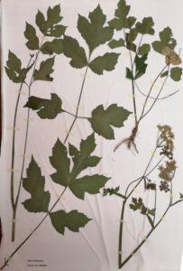 2019-herbier-berce-sphondyle